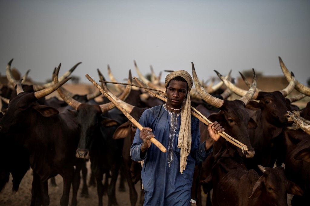 A Fulani herdsman guides cattle in the area surrounding Bermo, on June 27, 2019. - Higher temperatures, shifting winds and moisture levels that alter rainfall patterns, sandstorms, torrential rain -- all can change the quality or even the location of pasture on which migrating herders depend. This year, for the Fulani, has been relatively good. The herdsman were able to draw on stocks of animal feed to help them survive stress points, while timely rainfall on some areas of the migration trail helped tender young grass to grow. But whether this respite endures is the big question. (Photo by Marco LONGARI / AFP)