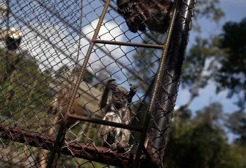 A spider monkey clings to the fence of a cage inside the Santa Cruz Zoo, amid the outbreak of coronavirus disease (COVID-19) in San Antonio del Tequendama, Colombia April 8, 2020. Picture taken April 8, 2020. REUTERS/Luisa Gonzalez