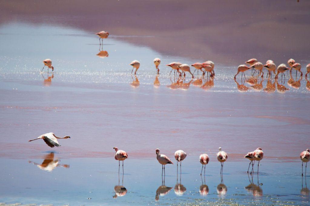 مجموعة من طيور الفلامينغو تهبط على بحيرة في كازاخستان