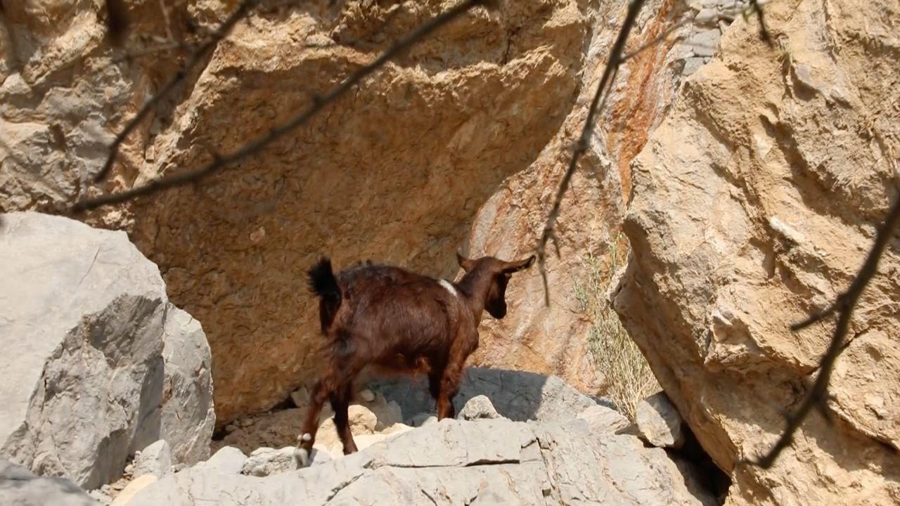 الماعز الجبلي