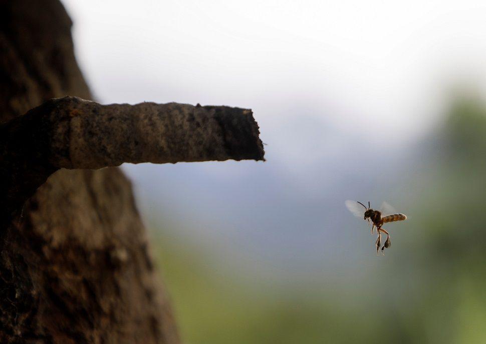 زوجان بوليفيان في سباق لإنقاذ نحل العسل من إزالة الغابات من مزارع الكوكا (صور)