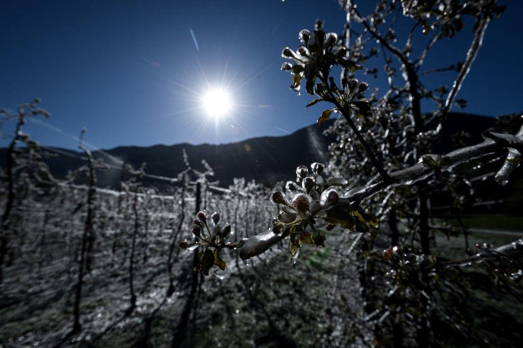 صور جميلة.. الجليد يكسو أزهار التفاح في إيطاليا