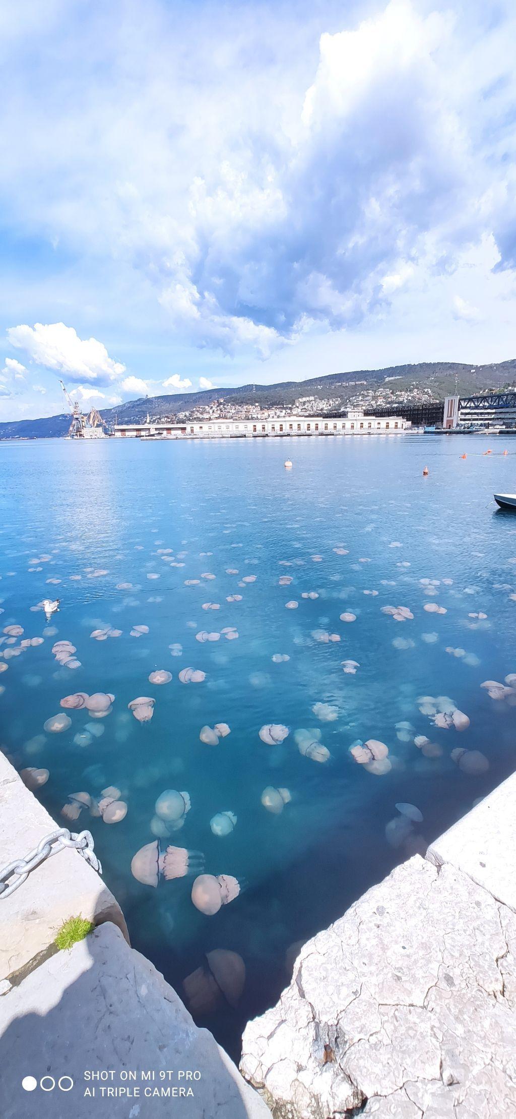 أسراب قناديل البحر الوردية تغزو مدينة ترييستي الايطالية