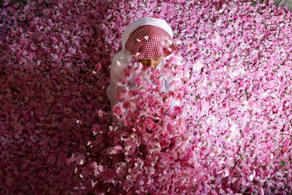 السعودية.. ازدهار مزارع الورد في الطائف خلال شهر رمضان