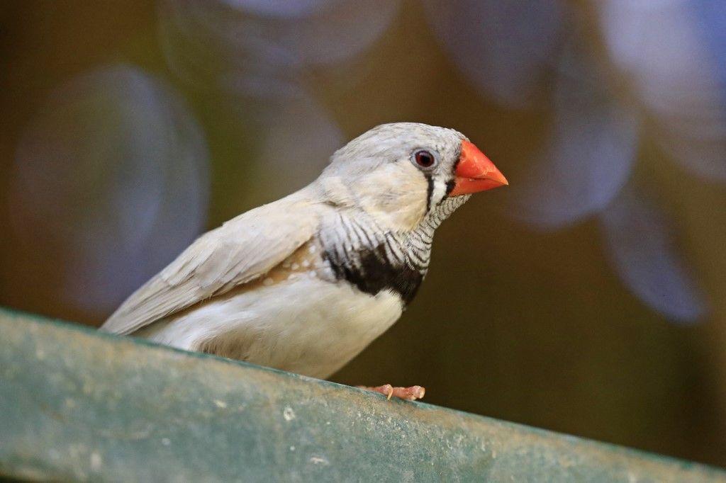 عرض طيور الزينة النادرة في محمية بالخرطوم