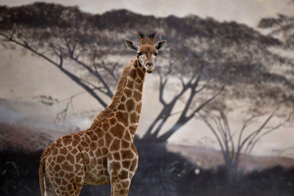 ولادة زرافة تثير فضول زوار حديقة حيوانات
