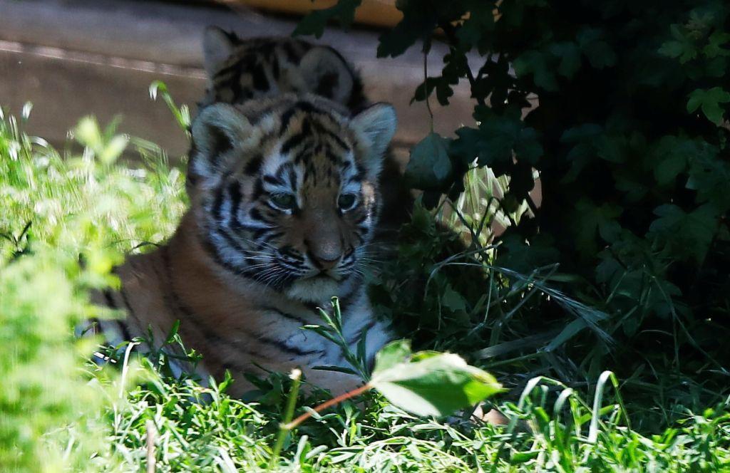 أشبال نمر سيبيري نادرة تولد في حديقة حيوان بولندية