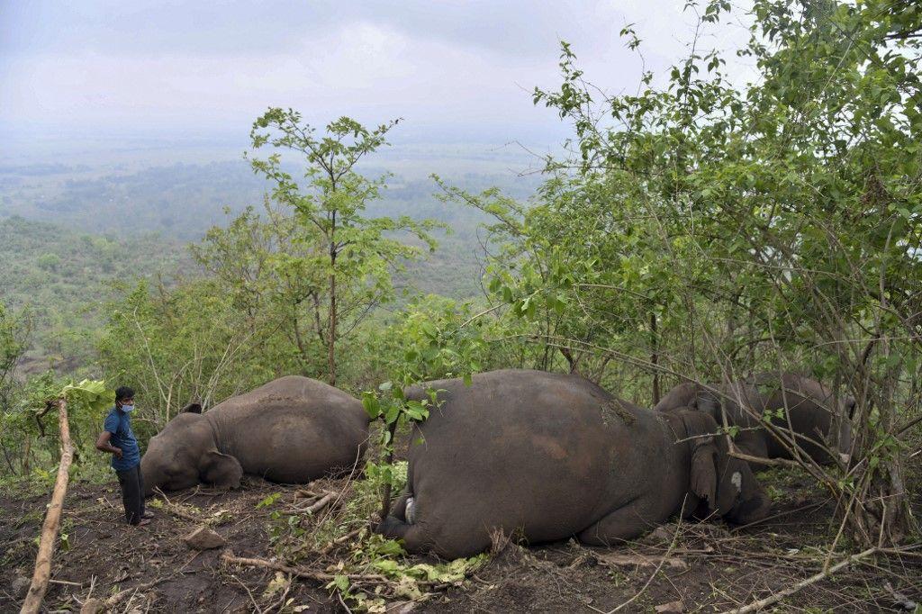 إخضاع 28 فيلاً لفحص كورونا في الهند إثر نفوق لبؤة بسبب الفيروس