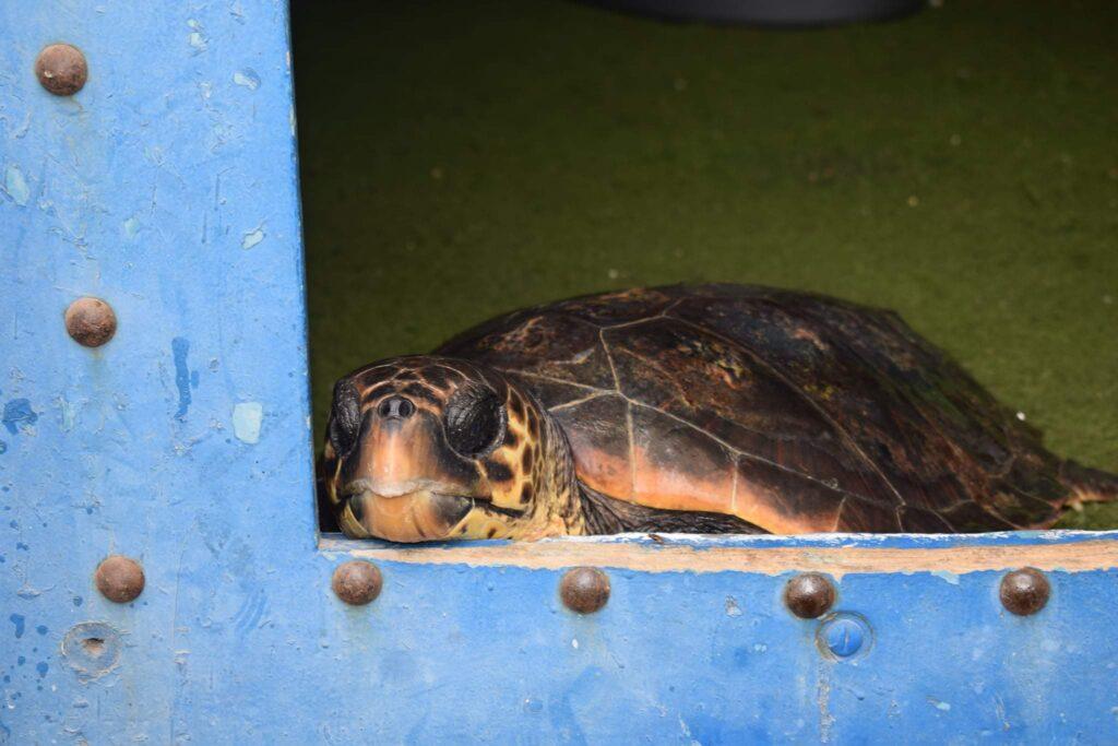 بحارة تونسيون ينقذون أكثر من 12 سلحفاة بحرية مهددة بالانقراض